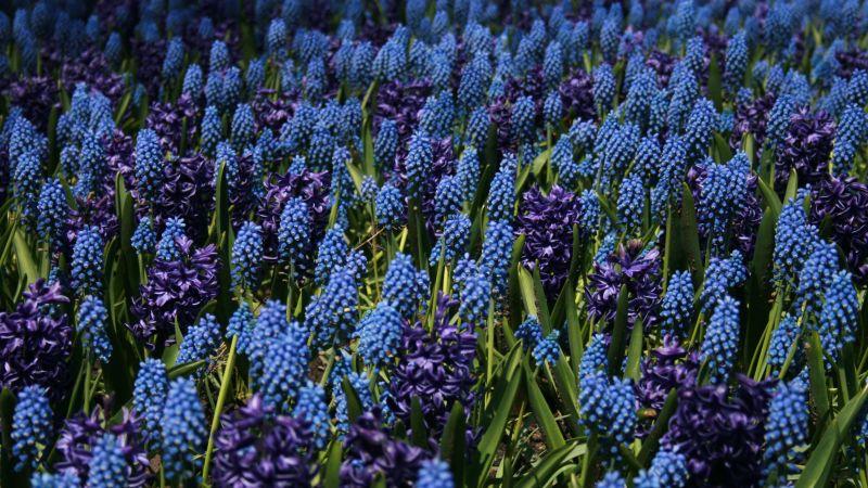 Lupine Field, Blue flowers, Floral Background, Bloom, Garden, Blossom, Wallpaper