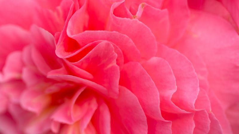 Pink flower, Bokeh, Petals, Closeup, Pink background, Flora, Vibrant, Blossom, Bloom, Spring, 5K, Wallpaper