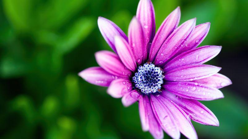 Pink Daisy, Rain droplets, Water drops, Daisy flower, Bokeh, Wallpaper
