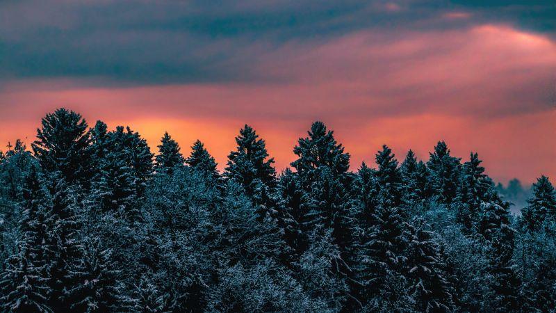 Winter, Pine trees, Evening sky, Dusk, Twilight, Wallpaper