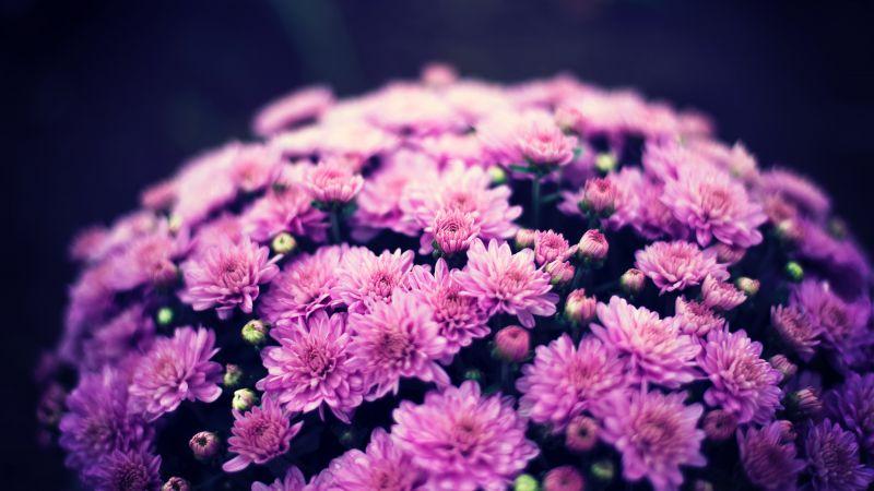 Chrysanthemum flowers, Purple Flowers, Bokeh, Floral, Spring, Flower bouquet, Wallpaper