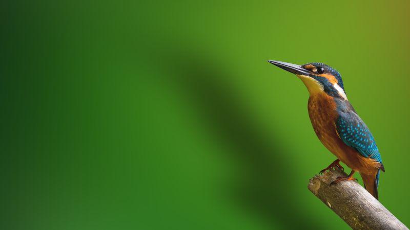 Kingfisher, Branch, Green background, Wallpaper