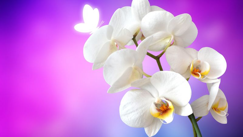Orchid flowers, White Orchids, Pink background, Wallpaper