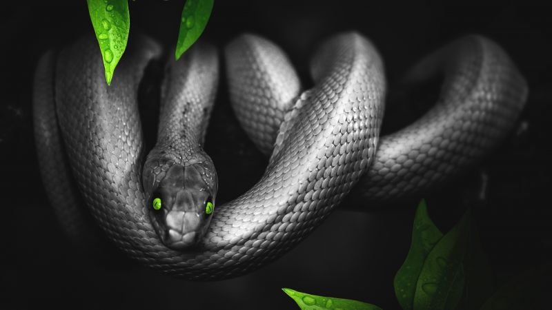 Snake, Reptile, Dark, Green eyes, Jungle, 5K, Wallpaper