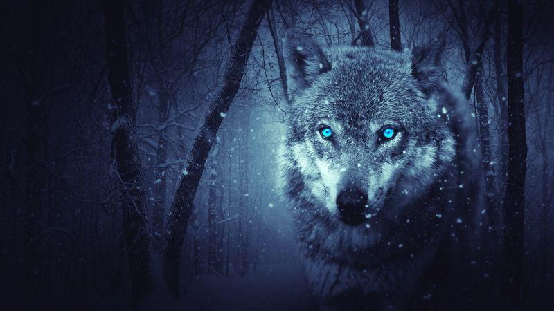 Wolf, Blue eyes, Snowfall, Winter, Night, Forest, 5K, Wallpaper