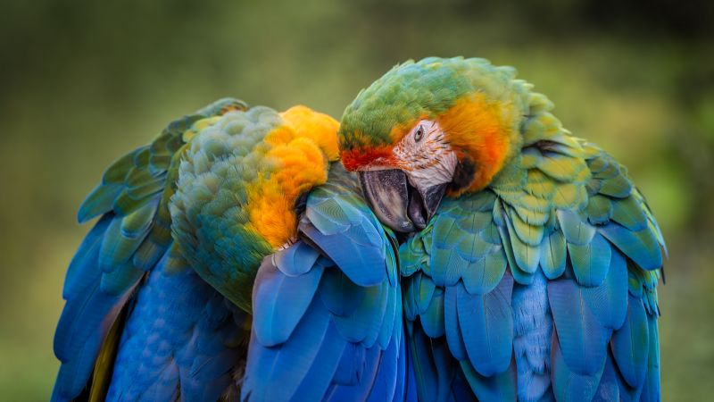 Parrots, Birds, Tropical, 5K, Wallpaper