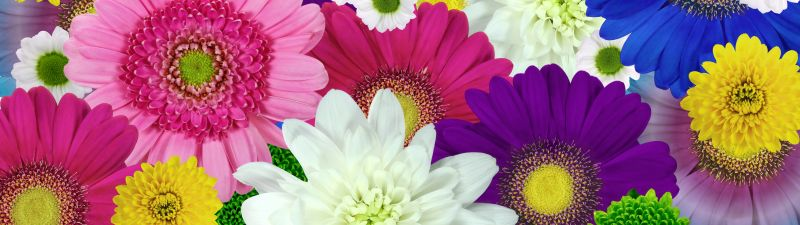 Colorful flowers, Daisies, Chrysanthemum flowers, Floral Background, Multicolor, Blossom, Bloom, 5K