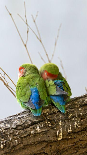 Rosy Faced Lovebirds, Peach Faced Lovebirds, Bird Couple, Tree Branch, Colorful, Cute bird